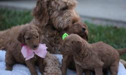 We have 5 (f1B) goldendoodle pups for sale!! Puppies were just born May 11..All puppies come with Current vaccinations, Veterinarian examination,Health certificate,Health guarantee, Pedigree>> Your Deposit will secure your order in line of picking