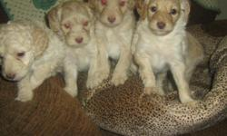 ASKING AN ADOPTION FEE THEY HAVE EXCELLENT PERSONALITIES FAMILY RAISED IN THE PROCESS OF BEING PAD TRAINED/CRATE TRAINED SERIOUS INQUIRES ONLY PLEASE FEEL FREE TO VIEW THIS SHORT CLIP OF THEM PLAYING http://www.youtube.com/watch?v=w94llK1JIHU AND FOR