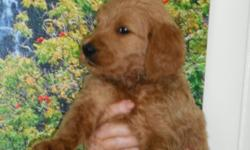 Beauriful Goldendoodle pups on the Big Island. Price includes shipping to anywhere in Hawaii. Mother is AKCApricot Standard Poodle . Father is AKC Golden Retriever. First shots and wormed . Ready by August 7th. Born June 1st.