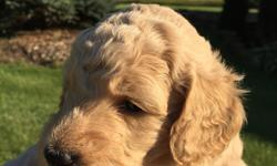 Gorgeous beige Goldendoodles and Labadoodles will be ready for their new home May 1. Puppies will come with first vet check and shots. Puppies are so playful, mellow, easy to train and extremelyintelligent. Puppies are raised in our