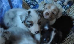Gorgeous Australian Shepherd puppies! Lots of color, AKC registered. Mother and father on premises. Serious calls only, please. Call 202.514.2000 or 202.514.2000. Starting at 1150.00 for Tris, blue merles are 1250.