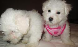 Hi, I have 2 gorgeous Bichon Poo puppies completely white for sale, 1 male and 1 female, They are ready to go to a lovely family, They already have their 1st vaccines, deworming and vet health certificate. They're so cute, adorable, playful, healthy,