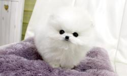 Gorgeous, cute and friendly Pomeranian puppy! She is the best pet anyone could ask for. She get along with children and other pets. Ideally for small condos and apartments. She is very healthy and now ready to go. Please email,call or text us at () -