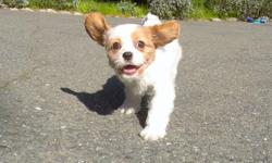 """""""Lily"""" is our gorgeous female CavaChon puppy! She loves to run around and play! - Mother: Cavalier King Charles Spaniel - Father: Bichon Frise - 13 weeks old - Health Guarantee - Current on Vaccines - 12-16 lbs : Adult Weight - Vet Checked - Clean Bill of"""