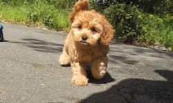 """Come and visit """"Elsa"""", the cutest little female CavaPoo puppy! She loves to run around and play! - Cavalier King Charles Spaniel x Toy Poodle - 10 weeks old and Ready to Go Home! - One Year Congenital Health Guarantee - Current on Vaccines - Adult Weight"""