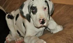 Gorgeous Great dane Puppies for more info's when contacting us please include your Phone number So that can call or text (240) 492-6636 with more info's about them Please contact us directly for more information Gorgeous Great dane Puppies for more info's