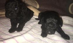 Gorgeous male and female Poodle puppies for sale they are very playful with kids and other pets for more information on them Text us at (516) 690 9564