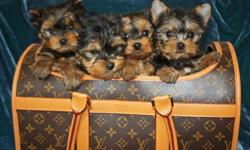 Tiny Purebred, Papered Yorkie puppies ready for their forever, loving home! They are 11 weeks old. Both parents AKC and CKC. Mom is 3.2 pounds and Dad is 4.5 pounds. Both are our family pets. Comes with: *Tails Docked * Dewclaws Removed *Ears standing up