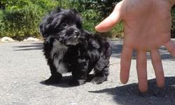 """Come visit """"Bronx"""", our precious male YorkiePoo puppy! He's a little shy at first, but he's the sweetest when he warms up to you! * Yorkshire Terrier x Toy Poodle * 9 weeks old * Health Guarantee * Current Vaccination Record * 4-6 lbs Full Grown * Vet"""