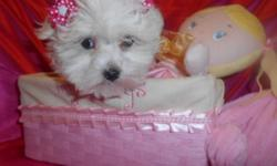 """I have 2 precious """"Malti-poo"""" girls .....this is a fabulous cross between our AKC registered Maltese and Purebred Toy Poodle. These darlings will be about 8-10 pounds as adults ...one blonde and 1 black and tan , GORGEOUS low allergen/ minimal shed coats"""