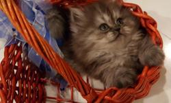 Gorgeous Persian Kittens! Very healthy, fluffy furry and fun! They are very well loved, confident and have great dispositions. Pictured is a Dark Silver Doll-faced girl.