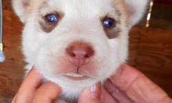NEW:)! GORGEOUS! GORGEOUS! GORGEOUS! GORGEOUS! SIBERIAN HUSKY PUPS:)! WETE 6 in the litter & ONLY 3 AVAILABLE FOR DEPOSIT!!! VERY RARE! CHAMPAYNE & SLATE GREY!!!:))) CHINA BLUE EYES:)! FALL IN LOVE:)! STEAL YOUR HEART:-)! GREAT GIFT/FAMILY ADDITION