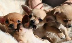 Short hair Chihuahua pups for new loving homes. Born 24 January. Parents at premises. Thick coat, potty trained, vaccinated and dewormed up to date, AKC registered, with 1 year health guarantee. Are very good companions especially with kids and get