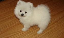 I have two beautiful Pomeranian puppies for sale one male one female. the male is a brownish/ orange color with the white belly. He is actually very adorable and playful but also loves to relax meanwhile the female is a sandy color with blue/gray eyes.