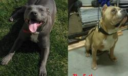 4 males and 4 females mom is on site I have pictures of the dad mom weighs 60 pounds gotti/american bloodlines Father is 100% Gotti weighing 90 pounds first picture is the Mom and Dad pictures below are the puppies are the actual puppies they are 2 weeks