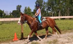 Shiloh is a 14 year old American Quater Horse, Paint Cross. She is right at 14.2 hands tall. SHe has a good temperament and is truely a nice all round horse. She has good ground manners, stands and waits quitely for you to opne and close gates, not pushy,