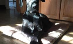 ?5 month old Great Dane all black female very thick and a big girl she's very obedient she needs a new home she has AKC papers she knows sit stay lay down she barks when some one comes to the door she won't let any one into the yard she will be about 130