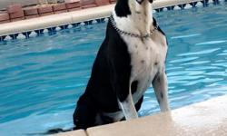 I have a male full euro Dane he is 11 months old good with other dogs and kids he is a great dog house trained and is very well mannered and is good with dogs utd on shots.