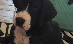 Born April 11. Ready for your home now! They are 15 weeks old. AKC registration, VET check, current on all vaccinations and deworming. Both puppies are mantles (Black and White) One boy and one girl.Parents on site.Super cute, family friendly, kid