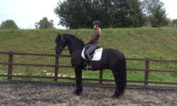 He is kind, honest, straight forward and a pleasure to do in all aspects. Hacks alone and in company. A seriously talented dressage horse with natural cadence and paces,This stunning horse has been produced professionally and correctly.for more