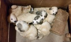 Great Pyrenees puppies males and females raised on a farm dad weighs 150 mom weighs 100 very sweet very lovable ready to go home immediately up to date with shots parents on site