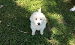 purebred Great Pyreneespuppy, was born April 22. I have one leftshe's a little girl all white. She's full of energy very playful. She's had her vet check and her first set of shots and deworming.I have both mom and dad.
