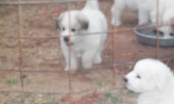 Great Pyrenees purebred puppies, weaned and ready to go. White and Wolf Marked, 2 males and 4 females. Parents on premises.