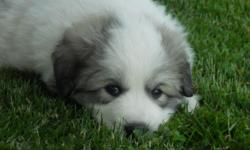 Gorgeous 3/4 Great Pyrenees 1/4 Samoyed Puppy for sale. Has been cuddled since birth, and loves children. 15 weeks old. Current on worming and shots. Only 1 female left... To good home ONLY!!! (Please call #(541)-259-6905, as I am having trouble sending