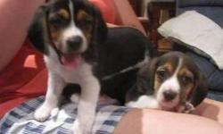 Tri color Beagle Puppies male and female available the puppies are very healthy, smart and playful and veterinary comes with all necessary documents, the puppies love the company of kids and other animals and will make a great member into your home and