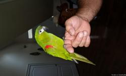 Reid is a beautiful Hahns Macaw. He is 7 years old. He talks and cuddles, but he can get quite loud. If you don't mind the volume, Reid may be perfect for you! - See more at: http://www.classifiedads.com/pets-ad188252476.htm#sthash.8rCgor5F.dpuf