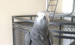 1year old hand tame African grey parrot, starting to talk says hello, gecko and scratch. Really gentle but a bit nervous around new people but takes to them quickly with a few treats. Comes with a corner cage, food. I have her hatching certificate and a