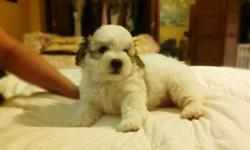Hello there, I have 1 Bichon Poo puppy for sale, He is ready to go to a lovely home perfect to bring happiness and love to your beloved ones :) He already went to the vet and has his 1st vaccines, deworming and vet health certificate. He is so cute,