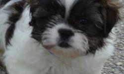 The Shih Tzu's origins are ancient, and steeped in mystery and controversy. A recent study revealed that the Shih Tzu is one of the 14 oldest dog breeds, and dog bones found in China have proven that dogs were present there as early as 8,000 B.C.