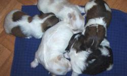 Havanese Puppies Litter of 5 puppies l male, l female available White/with Tan/Creme Markings Born Feb 15, 2015 Available early April 9406916054 (phone only) Male $850, Female $900 APRI registered, champions in bloodlines Puppies 1