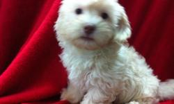 1 Male Chocolate/Cream Havanese born on 5-1-11. UTD on shots and comes with a health warranty. ** Credit Cards Accepted (Visa/MasterCard) ** Financing Available (Please Inquire) ** Shipping Available For More Info Call/Text: 262-994-3007