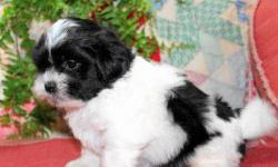 ADORABLE, NONSHED. POTTY PAD TRAINED. WHITE/SABLE. 9 WEEKS OLD. FIRST SHOT, WORMED, WRITTEN HEALTH GUAR. FEMALES>495.00. GREAT PRICE! NO PAPERS. LITTLE SWEETHEARTS. CALL FOR INFO> 916 992 1544......no text or emails,thanks.