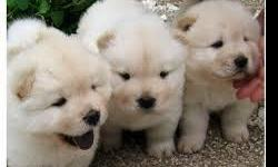 HEALTHY CHOW CHOW PUPPIES FOR SALE We have a beautiful litter of 8 Chow Chow pups. They come with AKC registration papers, copy of parents pedigrees, one year health guarantee. Text Only Via (530) 522-8115