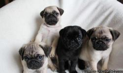 Healthy Pug puppies Available now  the puppies are very healthy, smart and playful and veterinary comes with all necessary documents, the puppies love the company of kids and other animals and will make a great member into your home and family, if