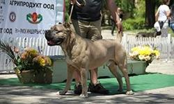 At Hierarchy kennel we strive to breed Cane Corso Italian Mastiff of superior pedigree, muscle, bone and head structure with stable temperaments. We are extremely selective about which dogs we allow in our breeding program. Our kennel consists of imports