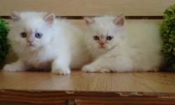 Beautiful 2 month old Himalayan Kittens for sale! White fur color with golden ears. Blue eyes. Adorable and playful. Health is guaranteed! The best presents for your family!! 718-645-7722.Alexakittens.com