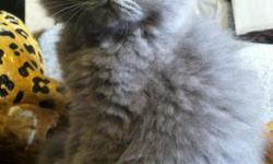 Hello, We have 5 cute kittens for sale, all are very playful, sweet lap cats looking for great homes to go home to, all are great around other cats and also kids. All Males and over 2 months old now, still very small and fluffy. All kittens come from a
