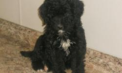 Wanna make a puppy happy? If so, then take me home with you! Hey There! I'm Holly! The fun, energetic female Bernadoodle! I'm as cuddly as a Teddy Bear! I'm a designer breed between a Bernese Mountain Dog and Standard Poodle. I was born on January