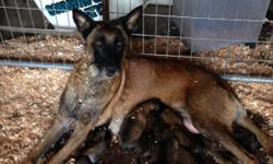 7/25/2016 Homing soon, Belgian Malinois puppies. $800.00, No papers, will have first shots and deworm before going to their new homes. Five days old, 5 pretty lil girls and 3 hansome lil boys. Make your inquires early they will go fast they always do.