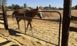 26 years old Quarter horse excellent health.