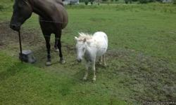Horses for sale in McCreary County, Kentucky. Aproximately an hour and a half from Knoxville, TN. Jaxon is the small white miniature stud horse. He is 1 1/2 years old. Halter broke and leads well. Very friendly. Asking $200. Ginger is a white miniature