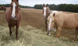 North Star Stable has several great horses that are looking for riders! What is leasing? Leasing will give you all the riding rights as being a horse owner without the expense of feed bills, vet and farrier bills and the cost of boarding. You will