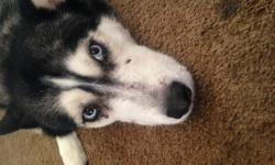 Kitty is a pure breed husky, she is very skittish and needs to be in a home with no animals or children. She is animal aggressive. Needs a patient experience owner. Will require vet reference and home visit. My husband would like to also call and check in