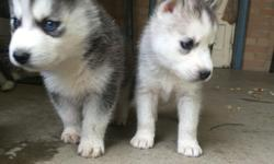 hi i have 6 beautiful husky puppies ready for a new home i have 3 males and 3 females they have theirfirst set of shots 7204128424