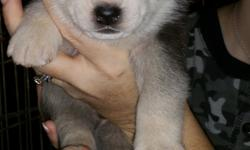 Siberian Husky puppies for sale! ~ $750.00~CKC registered. Black/White and Grey/White colored. We still have 3 males and 1 female, born 12/20/15, that are still available. They will be ready for their new homes around 2/10/16 just in time for Valentine's
