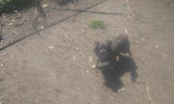 i have 1 year old pekingese up on shots and fix for more call 336 847 4577